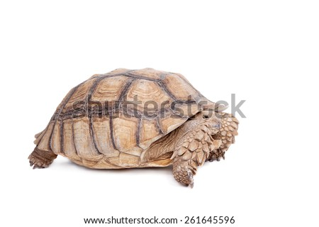 African Spurred Tortoise on white  #261645596