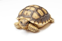 african spurred tortoise or geochelone sulcata isolated on white background