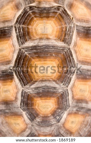 African Spurred Tortoise Shell