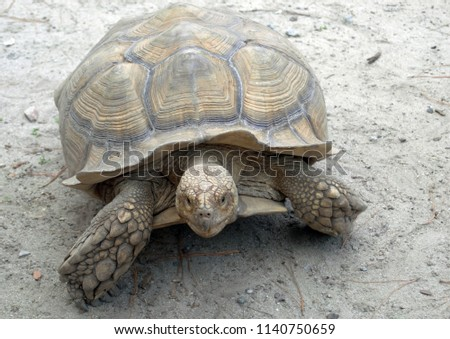 african spurred tortoise walking on dirt #1140750659