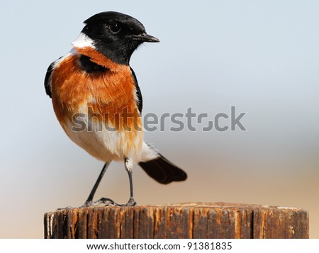 African Stonechat bird - stock photo