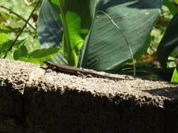 African Striped Skink Reptile. Full clear view of a grey and light brown toned Lizard with yellow stripes on a cement wall. Spectacular Sighting