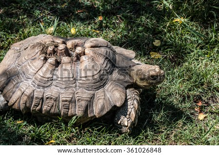 image gallery sulcata tortoise