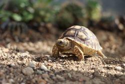 African Sulcata Tortoise Natural Habitat,Close up African spurred tortoise resting, Africa spurred tortoise sunbathe on ground with his protective shell ,Beautiful Tortoise