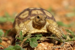 African Sulcata Tortoise Natural Habitat,Close up African spurred tortoise resting in the garden, Slow life ,Africa spurred tortoise sunbathe on ground with his protective shell ,Beautiful Tortoise