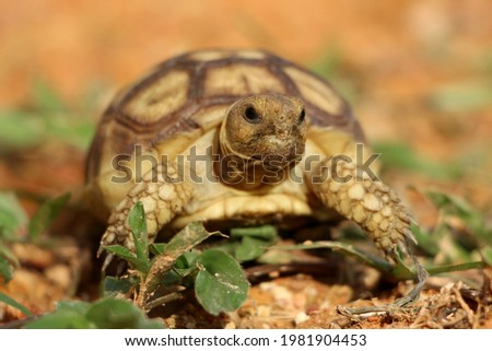 African Sulcata Tortoise Natural Habitat,Close up African spurred tortoise resting in the garden, Slow life ,Africa spurred tortoise sunbathe on ground with his protective shell ,Beautiful Tortoise Stock photo ©