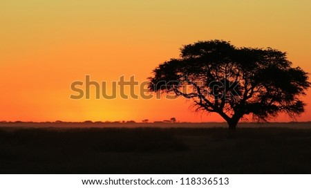 African Sunset.  Camel-thorn  Silhouette.  Photo taken on a game ranch in Namibia, Africa.