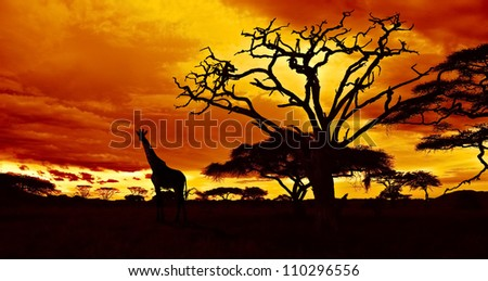 African sunset in the savannah with silhouette of giraffe and dead acacia tree, Tanzania.