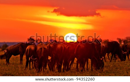 African sunset with Blue Wildebeests - Maasai Mara National Park in Kenya, Africa