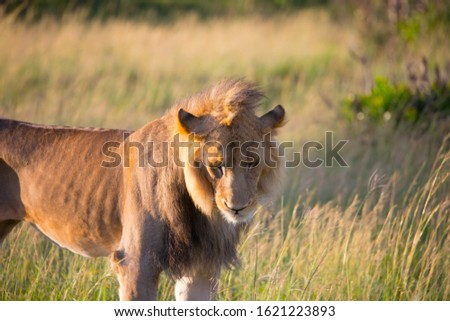 African thin lion is resting in the shade after a successful hunt. Kenya, Masai Mara Park. Jeep safari in spring in the African savannah. Concept of exotic, extreme tourism and photo tourism