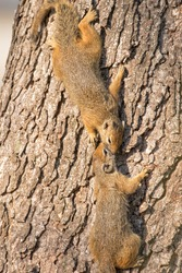 African tree squirrels kissing on the side of a tree in winter