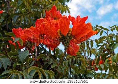 African tuliptree flowers (Spathodea campanulata), Belo Horizonte, Brazil