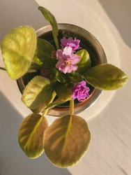 African Violet Flower OR Violet Saintpaulias Flowers Lilac in a Pot On Window Sill On White Background