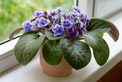 African violet flower saintpaulia in bloom on windowsill home. Little blue and white colored flowers