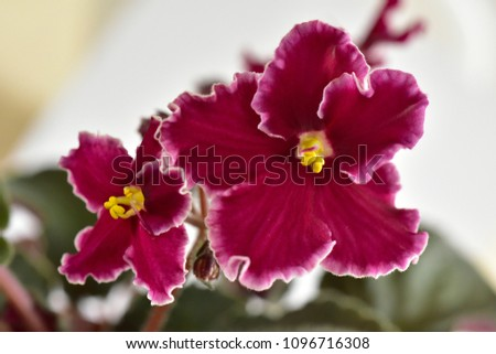 African violet plant variety Emergency with white and red fresh beautiful  flowers #1096716308