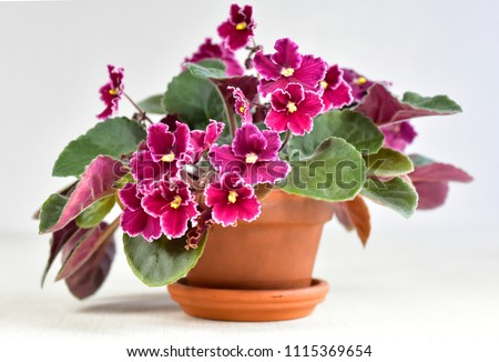 African violet plant variety Emergency with white and red fresh beautiful  flowers #1115369654