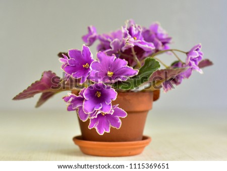 African violet plant variety Icy Sunset with white and pink fresh beautiful  flowers #1115369651
