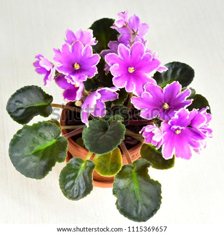 African violet plant variety Icy Sunset with white and pink fresh beautiful  flowers #1115369657