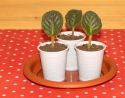 African violet propagation Concept. Growing african violets by leaf