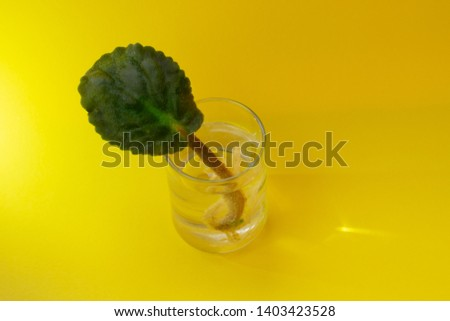 African violet's leave with roots, rooting and caring of young plant of African violet #1403423528