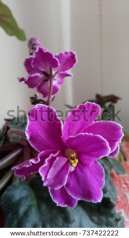 African violet - Saintpaulia #737422222