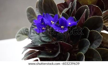 African Violets #603239639