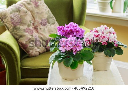 African violets in a home setting #485492218