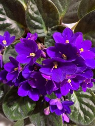 African violets in vibrant purple indoor plant in flower pot directly above view, floral wallpaper background with purple violets