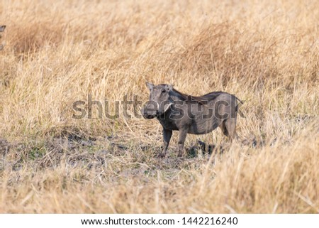 African warthog oin the savanna of botswana, africa Stock fotó ©