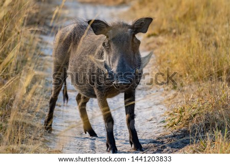 African warthog on the dusty road in africa, Namibia Stock fotó ©
