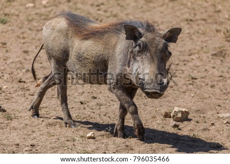 African warthog , profile portrait, tail waving in the wind in the Serengeti, Tanzania, Africa