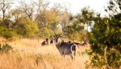 African Waterbuck in long dry grass in a South African wildlife reserve