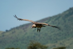 African white-backed vulture glides past hills