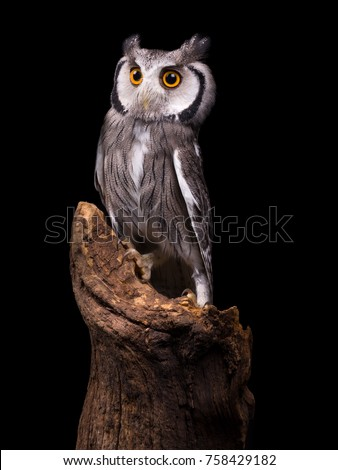 African White Faced Owl sitting on a tree trunk