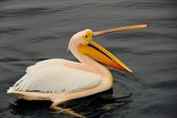 african white,pink pelican with yellow open beak, pelican swimming in dark, black water, close up of white african pelican with yellow beak, Pelecanus crispus, wildlife scene from Africa