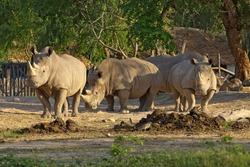 African White Rhino in the zoo.