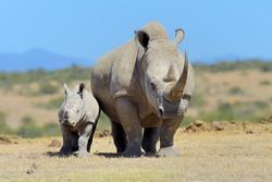 African white rhino, National park of Kenya, Africa