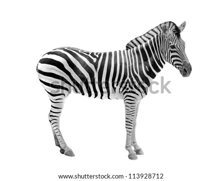 African wild animal zebra showing beautiful black & white stripes . This mammal is related to horse & the stripe patterns are unique to each zebra. The animal is isolated on white with clipping mask