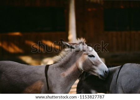 African wild ass, African wild donkey is a wild member of the horse family, Equidae. This species is believed to be the ancestor of the domestic donkey, known as Equus africanus found in north Africa #1153827787