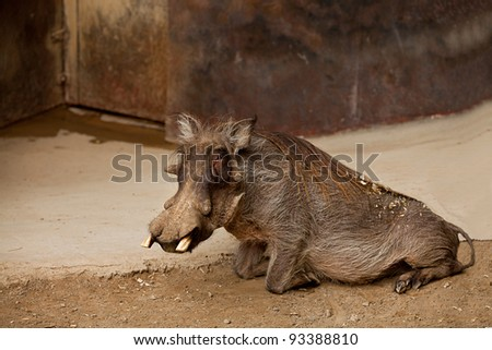 African Wild Boar in Captivity