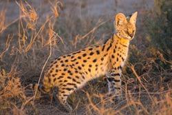 African Wild Cat Serval From Amboseli Kenya
