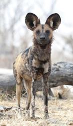 African wild dog in Botswana's  Okavango  delta ,Africa
