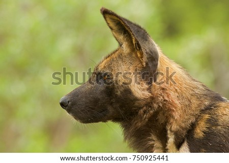 African Wild Dog in the Bush and Game Reserves #750925441