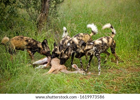 African Wild Dog, lycaon pictus, Groupe eating a Kill, a Female of Great Kudu, Namibia