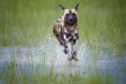 African Wild Dog, Lycaon pictus, running in the splashing water directly at camera.   African wildlife photography, low angle and colorful light. Okavango delta, Botswana.