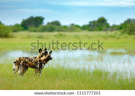 African wild dog, Lycaon pictus, walking in the water. Hunting painted dog with big ears, beautiful wild animal in habitat. Wildlife nature, Moremi, Okavanago delta, Botswana, Africa.