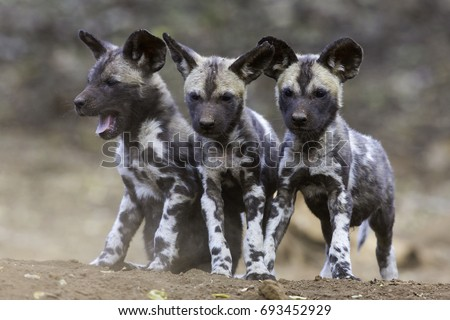 African Wild Dog Siblings #693452929