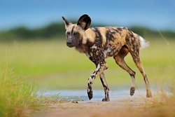 African wild dog walking in the water on the road. Hunting painted dog with big ears, beautiful wild animal. Wildlife from Mana Pools, Zimbabwe, Africa.