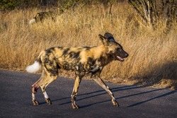 African wild dog walking on safari road in Kruger National park, South Africa ; Specie Lycaon pictus family of Canidae