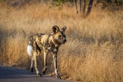 African wild dog with radio collar walking on safari road in Kruger National park, South Africa ; Specie Lycaon pictus family of Canidae